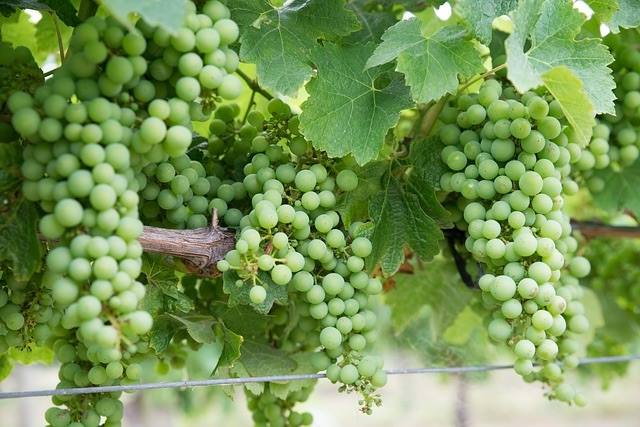 Chardonnay grapes growing on the vine