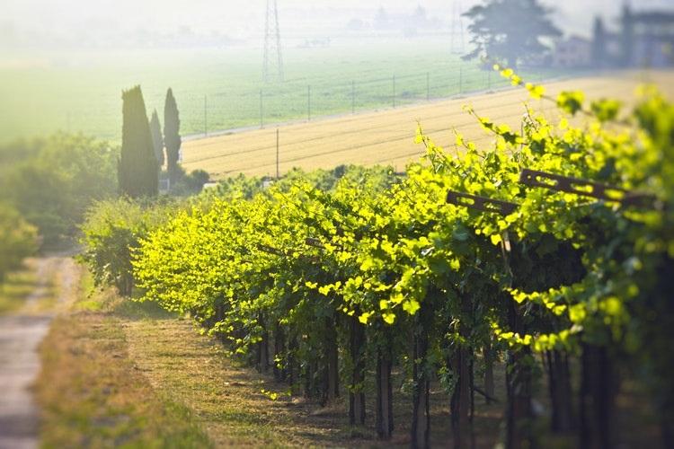 chardonnay grape vines