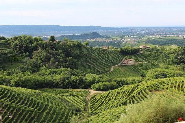 View of vineyards in the Treviso Hills of northern Italy