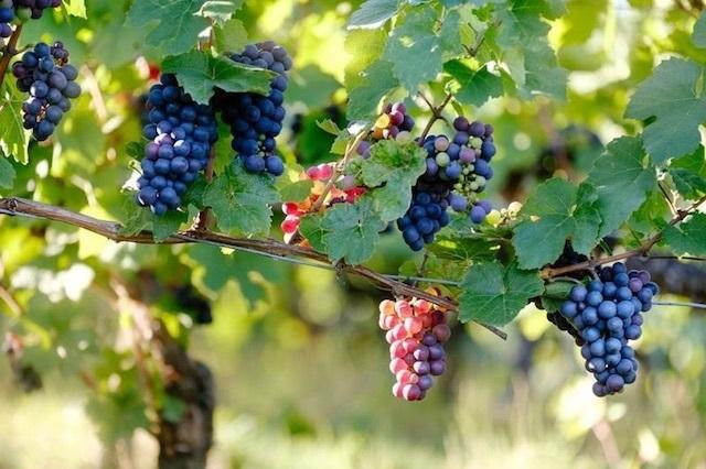 Syrah grapes on a vine